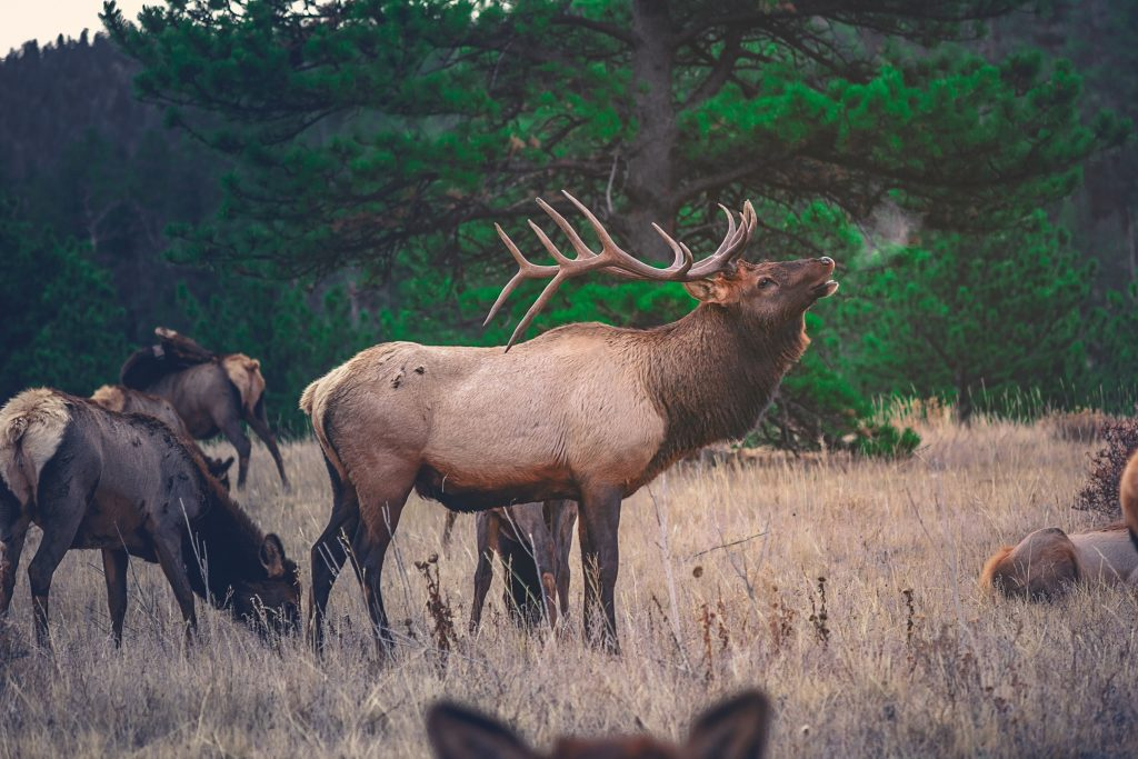 A bull elk during the fall hunting season