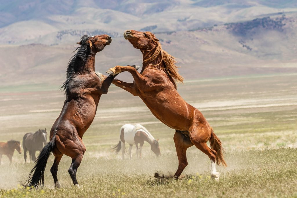 Two mustang stallions blow off some steam
