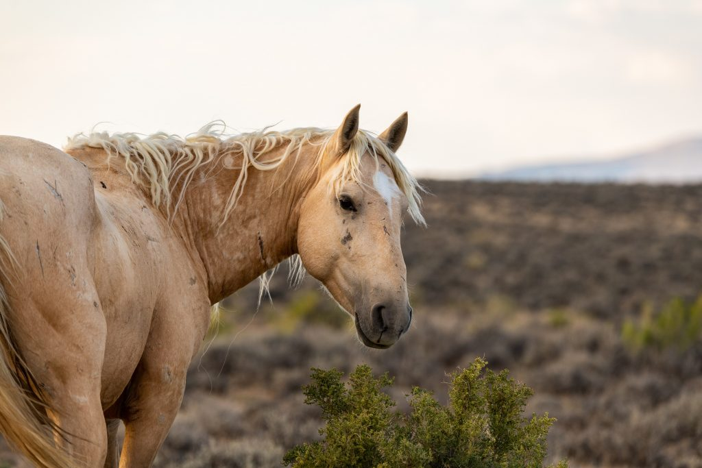 A wild mustang in Colorado's high desert